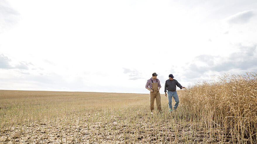 Two farmers surveying their wheat field.